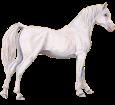 Arabian Horse image